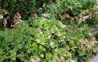 Saxifrage des ombrages