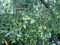 Olivier \'Picholine\' (Olea europaea \'Picholine\') : taille ...