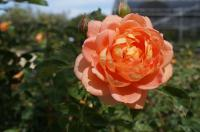 Rosier 'Lady of Shalott'