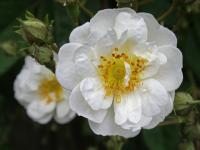 Rosier 'Rambling Rector'