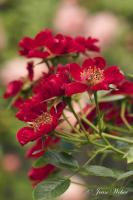 Rosier 'Tapis rouge'