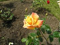 Rosier 'Sutter's Gold'