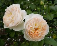 Rosier 'England's Rose'
