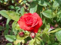 Rosier 'Baby Baccara'