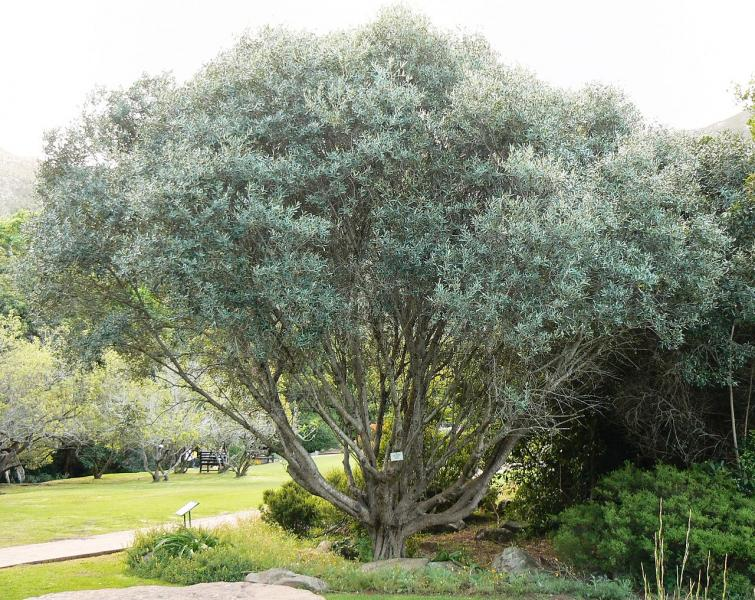 Olivier / Olive (Olea europaea) : taille, bouturage, entretien