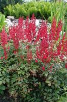 Astilbe d'Arends