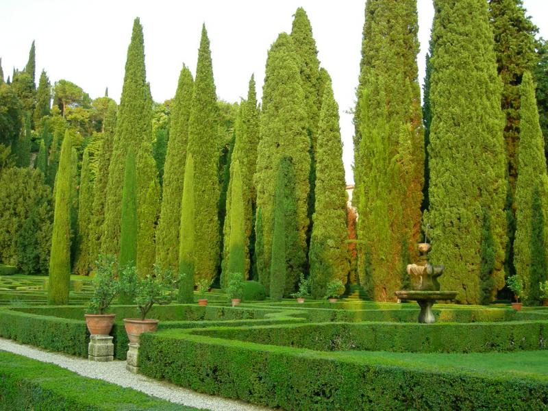 Cypres De Provence Cupressus Sempervirens Taille Bouturage