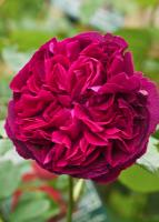 Rosier 'Falstaff'