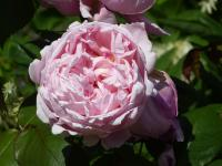 Rosier 'Brother Cadfael'