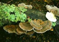 Polypore de couleur variable