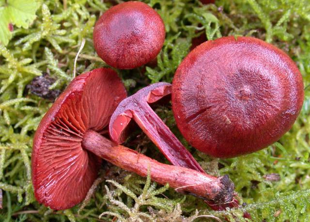 Cortinaire sanguin cortinarius sanguineus toxicit - Calendrier des champignons comestibles ...