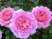 Rosier 'Princess Alexandra of Kent'