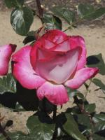Rosier 'Rose Gaujard'