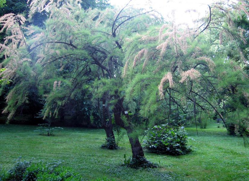 best cheap competitive price top brands Tamaris de printemps (Tamarix parviflora) : taille ...