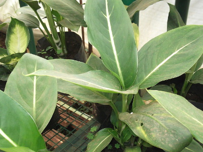aglaonema-costatum-1