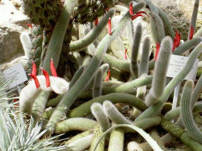 cactus-queue-de-rat-1