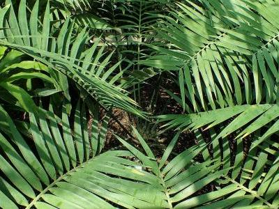 ceratozamia-du-mexique-1