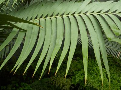 ceratozamia-du-mexique-2