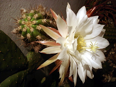 echinopsis-candicans-2