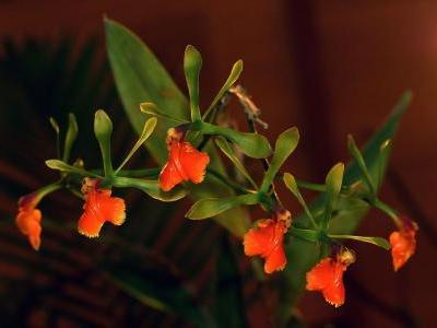 epidendron-a-tiges-2