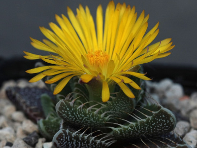 faucaria-chat-2