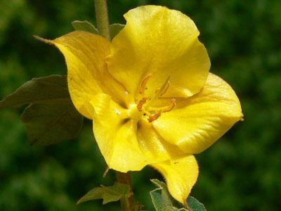 fremontodendron-california-glory-2