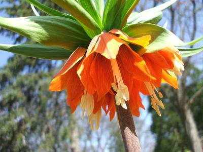fritillaire-imperiale-2
