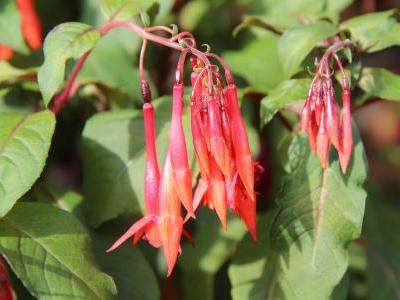 fuchsia-brillant-1