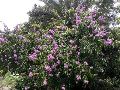lilas-des-indes-splendide-1