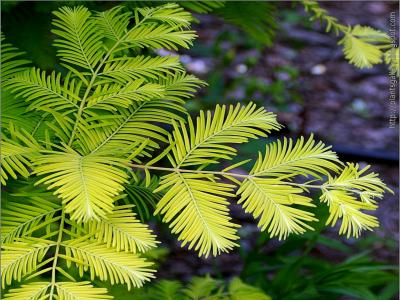 metasequoia-gold-rush-2