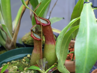 nepenthes-alata-1