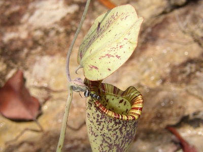 nepenthes-rafflesiana-2