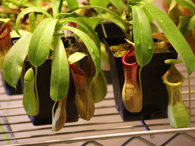 nepenthes-ventricosa-1