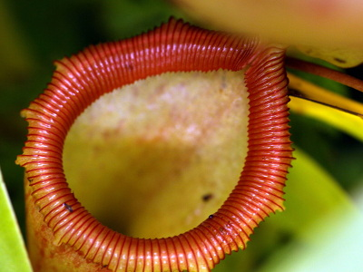 nepenthes-ventricosa-2