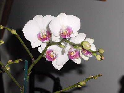 orchidee-papillon-1