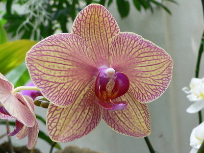 orchidee-papillon-2