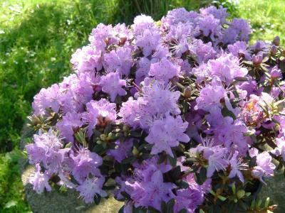rhododendron-emmele-2