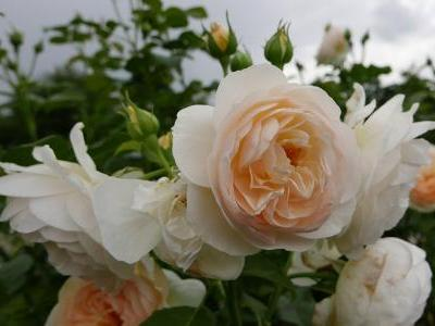 rosier-england-s-rose-1